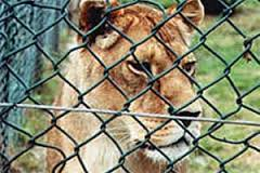 a photo of a Lion behind a fence, possibly at a zoo